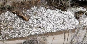 В Астрахани на Волге всплыли десятки мертвых рыб